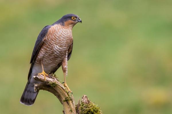 Sparrowhawk on perch by KPnut