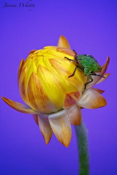 Green Beetle by janenewhitty