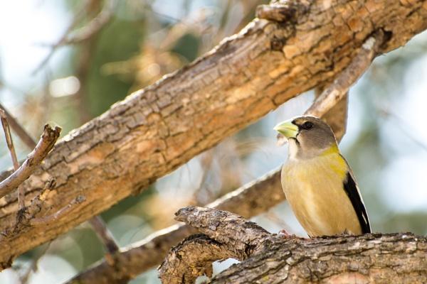 Female Evening Grosbeak by shakeyhands