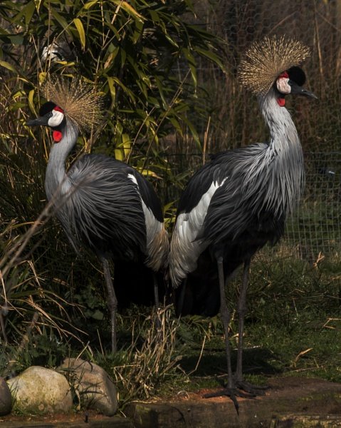 Grey crowned Cranes by terryxc
