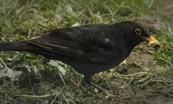 Blackbird by martfaulkner
