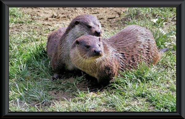 Otters by uzi35mm