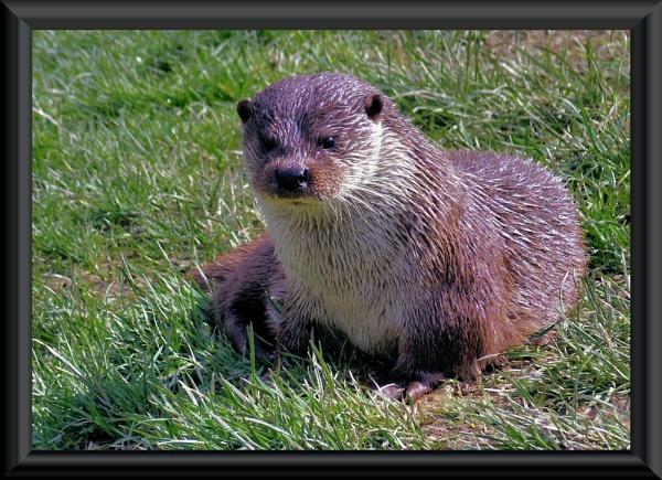 otter by uzi35mm