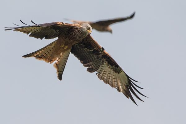 Red Kites by karkley