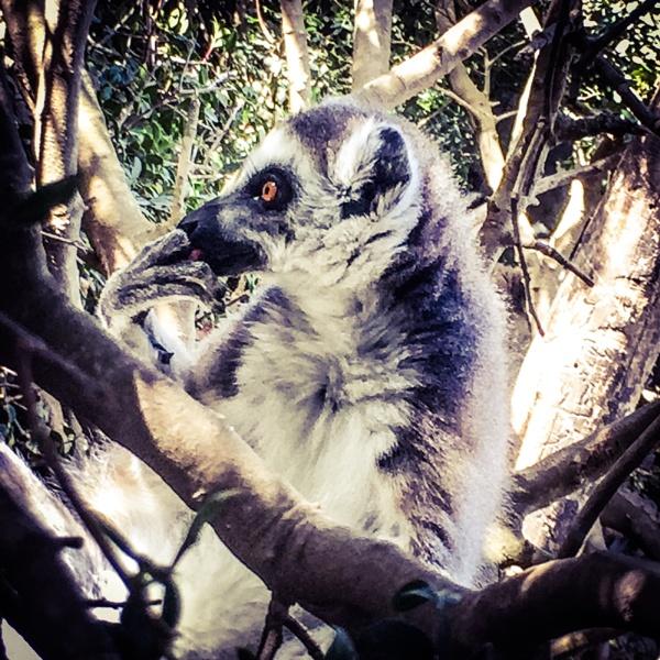 Lemur by ClementineH