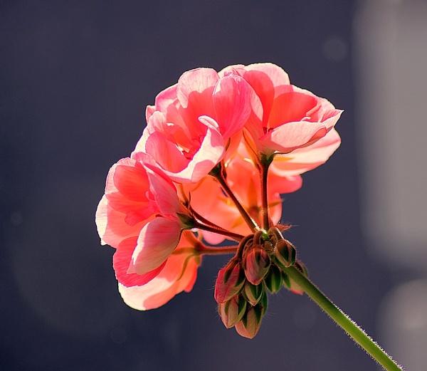 Springs flower by kazeva