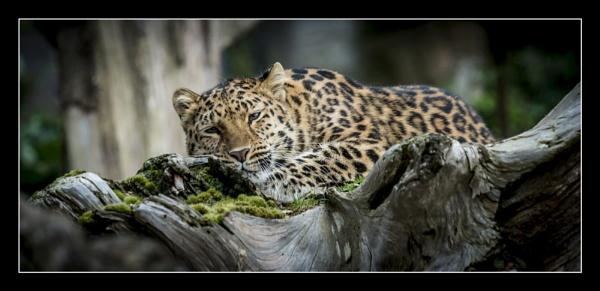 Amur Leopard by ALLYDC1979