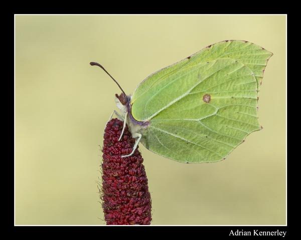 Butterflies 2015 No 2 by tomcat