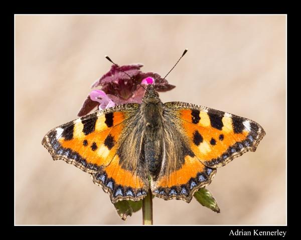 Butterflies 2015 No 4 by tomcat