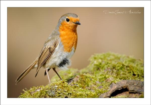 Just a Robin by danja
