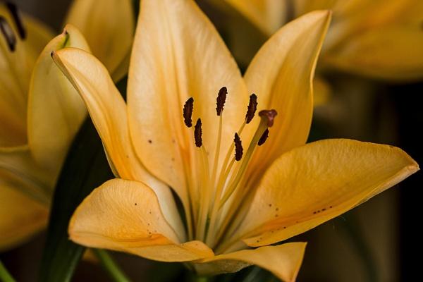 Oriental Lily by TrevorPlumbe