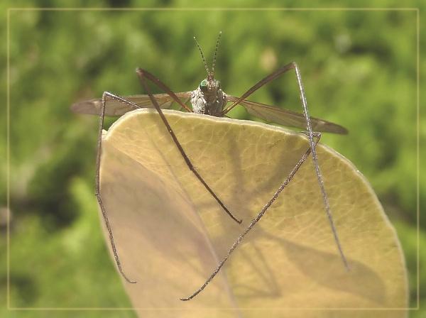 lazy crane fly by CarolG