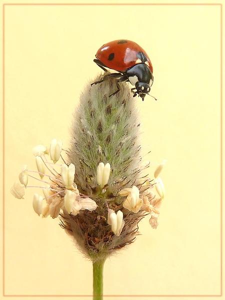 ladybird on ribwort by CarolG