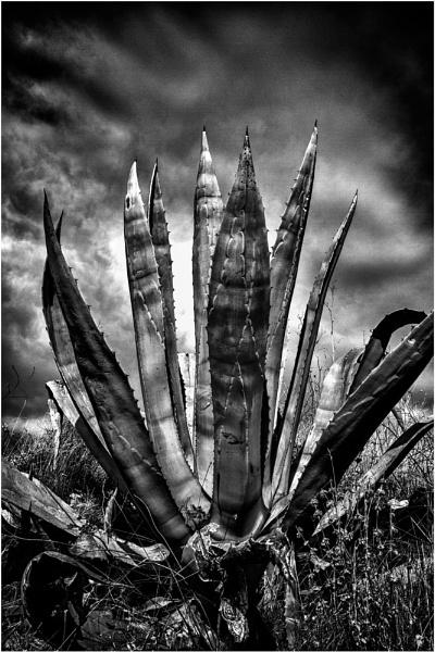 Cactus Prickulus by jarendell
