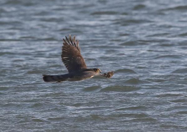Sparrow Hawk Across Water by NeilSchofield