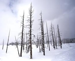 Tangle Creek Lodgepole Pines