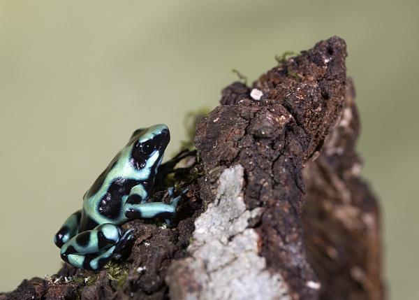 Dart Frog by Lillian