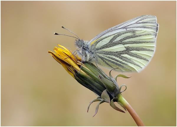 Green Veined White by NigelKiteley