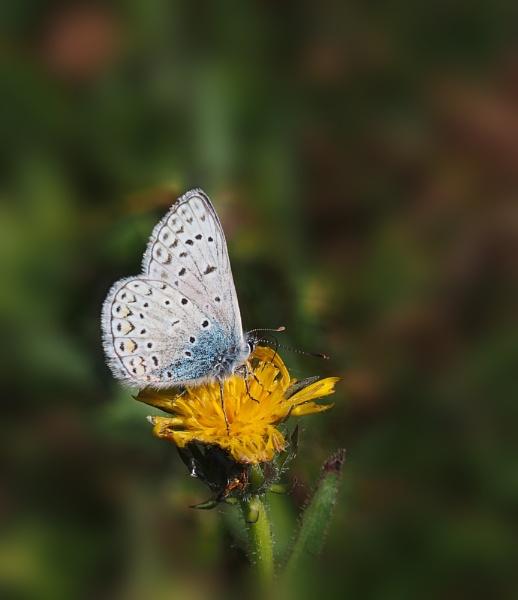 Italian Blue by CaroleS