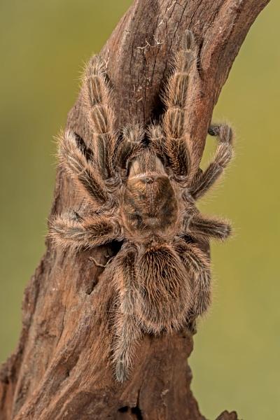 Rose Tarantula by Louise_Morris