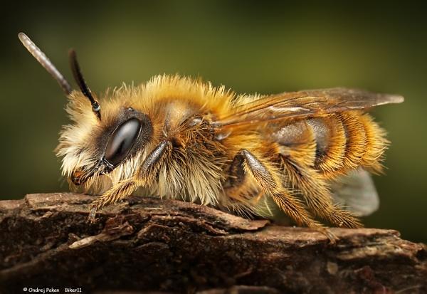 Bee by biker11
