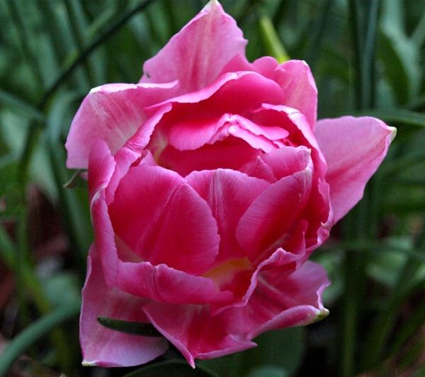 Dwarf Tulip by JuBarney