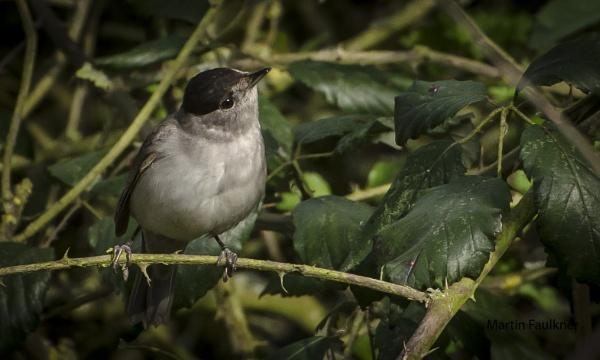 Blackcap ((male) by martfaulkner