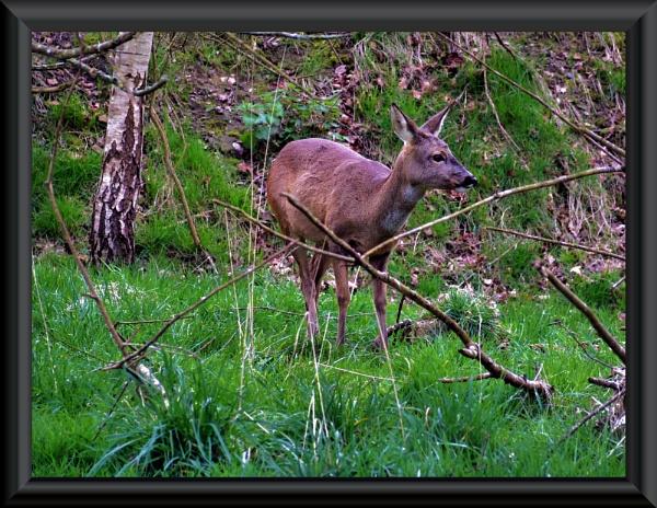 deer by uzi35mm
