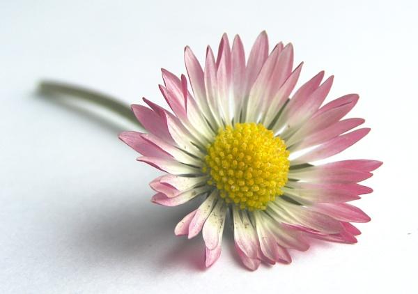 daisy by enfys