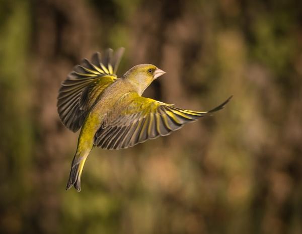 Greenfinch in Flight by Brookhousek