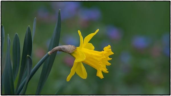Daffodil and Pulmonaria by taggart