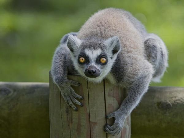 Lemur by HUFC