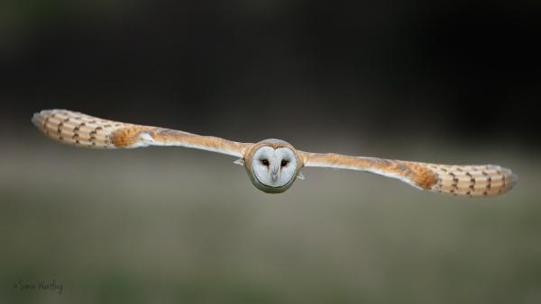 Barn Owl Glider by SimonWantling