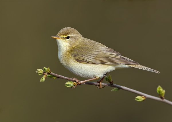 Willow Warbler (Phylloscopus trochilus) by DerekL