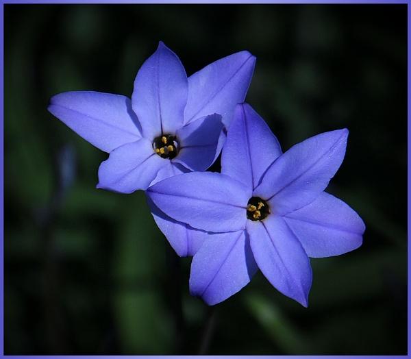 Ipheion uniflorum \'Wisley Blue\' by ChristineD