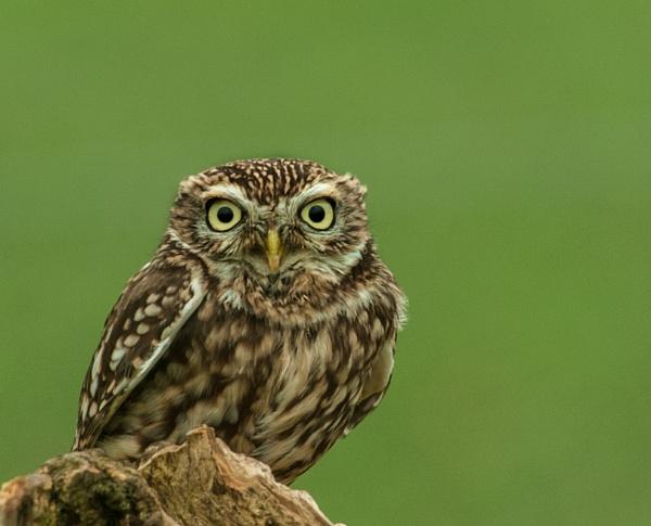 Little Owl by Nicksi