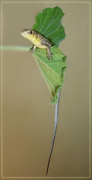 lanky lizard by CarolG