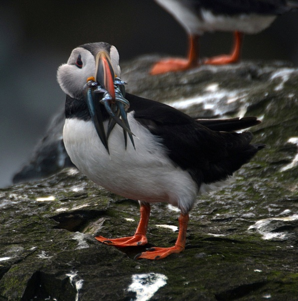 Puffin with Sand Eels by peterthowe