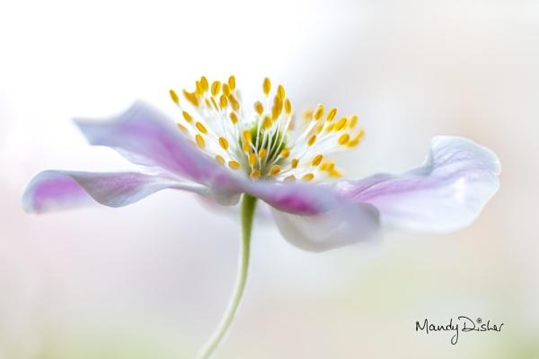 Wood Anemone by MandyD