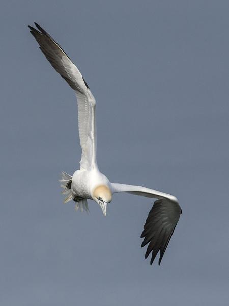 Northern gannet by ajdh