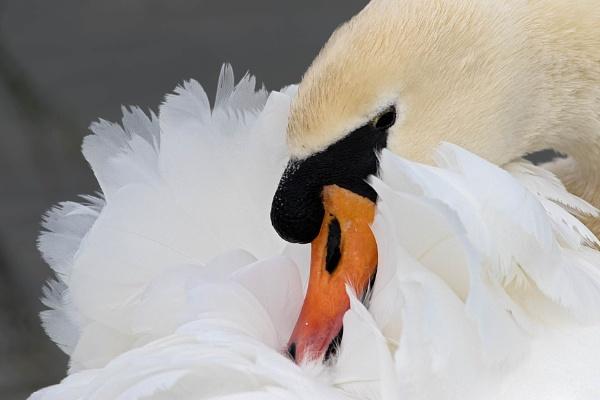 Mute Swan (Cygnus olor) by Ray_Seagrove