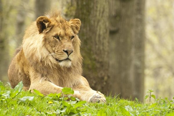 Male Lion - Longleat Safari Park by editfmah