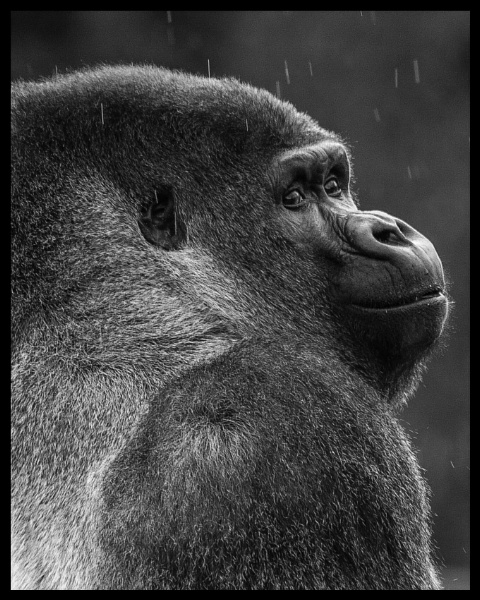 Silverback by icphoto