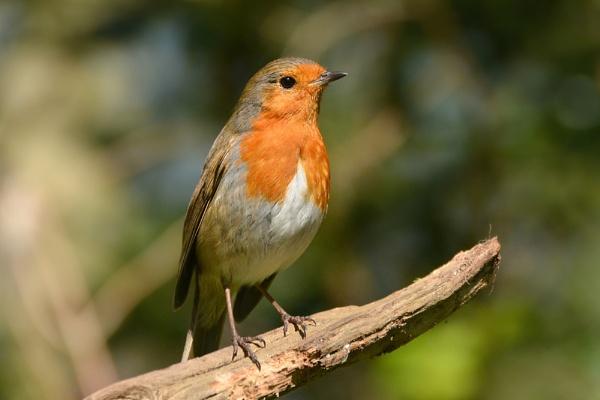 Robin by Jenny-D