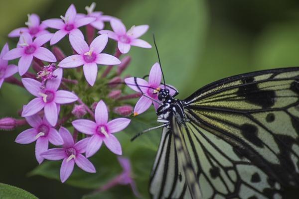 Butterfly IIII by SimplySteph