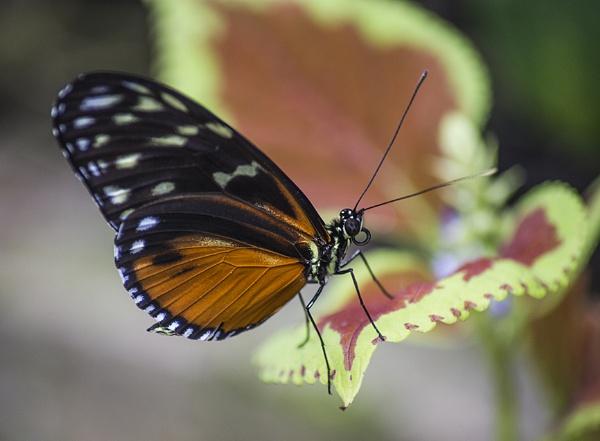 Butterfly III by SimplySteph