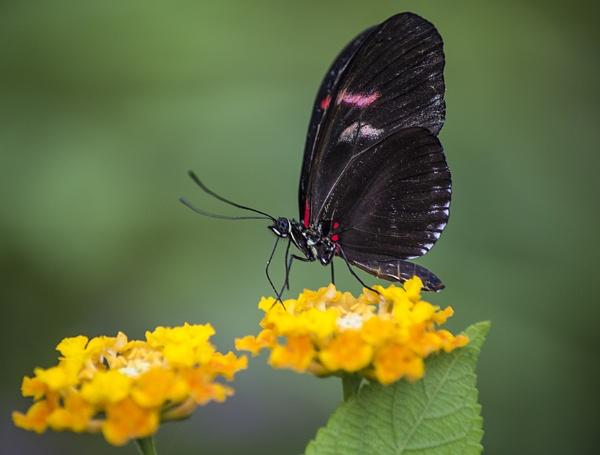 Butterfly II by SimplySteph