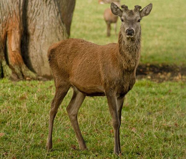 Deer by SimplySteph