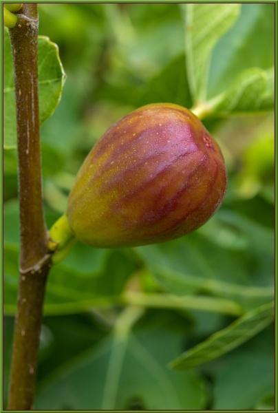 Yummi ( Fig) by Ayoob