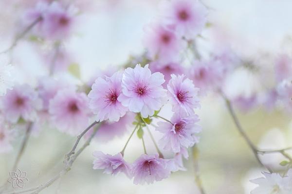 Prunus \'Pink Ballerina\' by jackyp